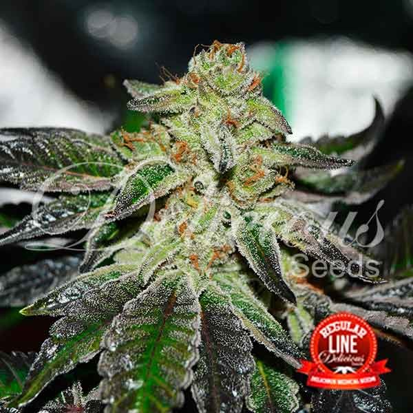 Original Juan Herer Regular - Seeds - REGULAR