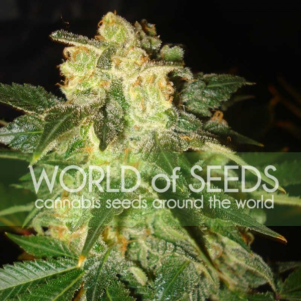 PAKISTAN RYDER  - World of Seeds