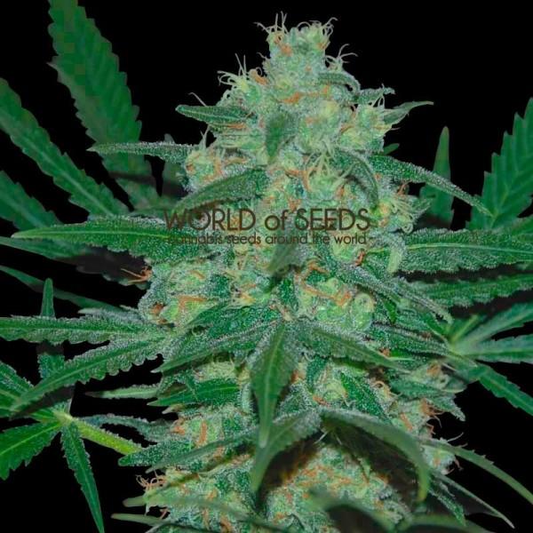Pakistan Valley Regular - 10 Semillas - World of Seeds