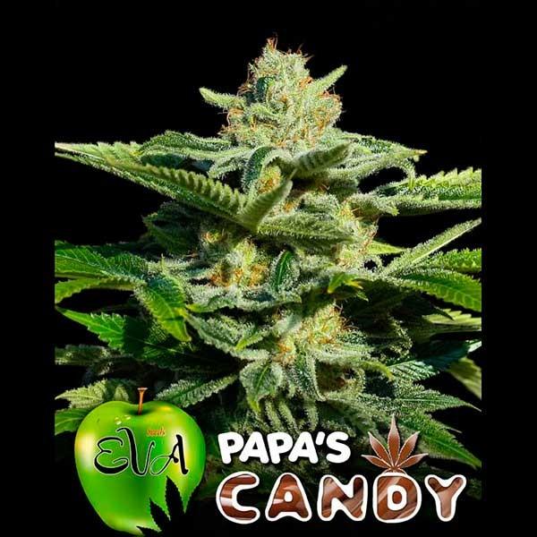 PAPA'S CANDY - Eva Seeds