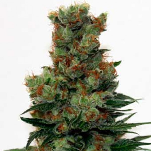 Ripper Badazz Regular - 12 Seeds - Ripper Seeds