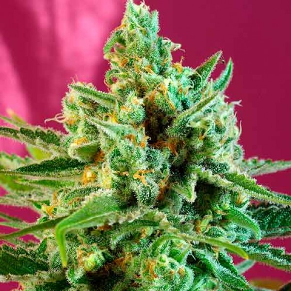 S.A.D. Sweet Afgani Delicious CBD - Sweet Seeds