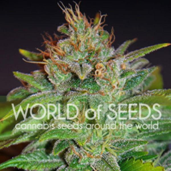 Skunk 47 - World of Seeds