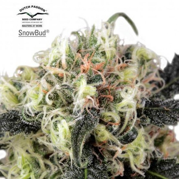 Snow Bud - Dutch Passion