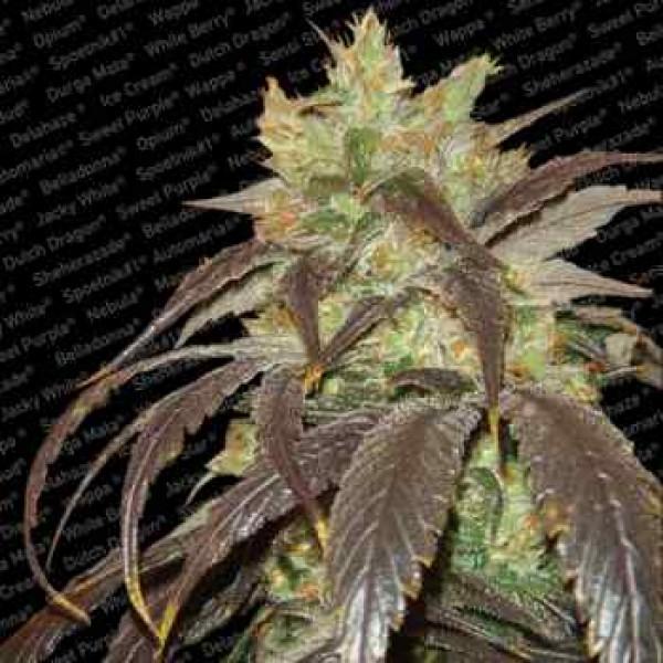 SPOETNIK#1 - Paradise Seeds