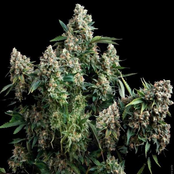 TUTANKHAMON - Pyramid Seeds