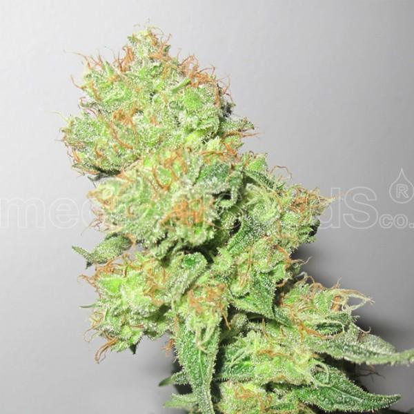 Y GRIEGA CBD - Medical Seeds