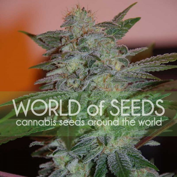 Yumbolt 47 - World of Seeds