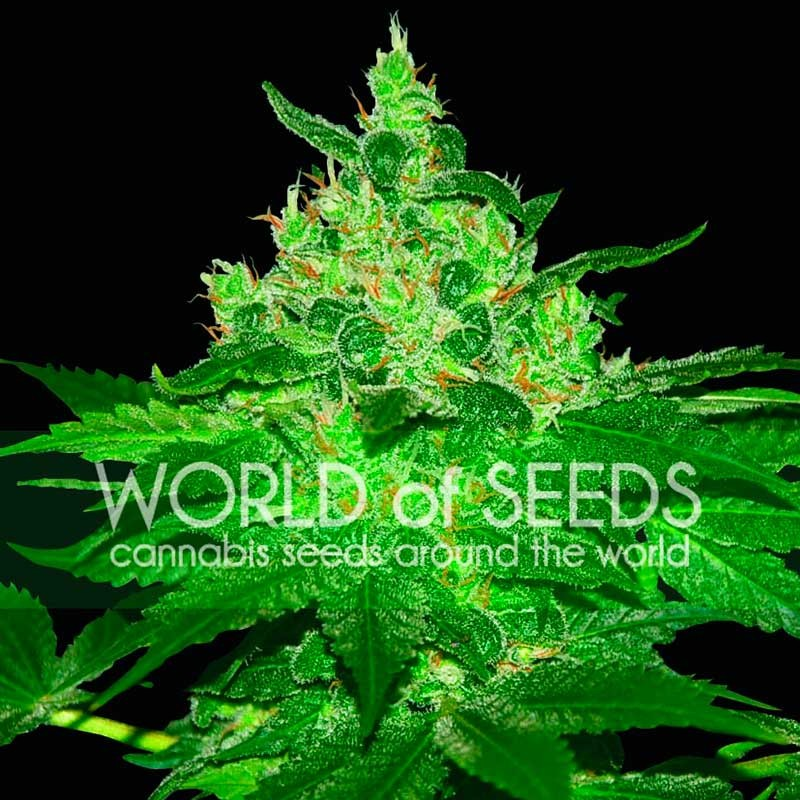 Afghan Kush - Seeds - Delicious Seeds