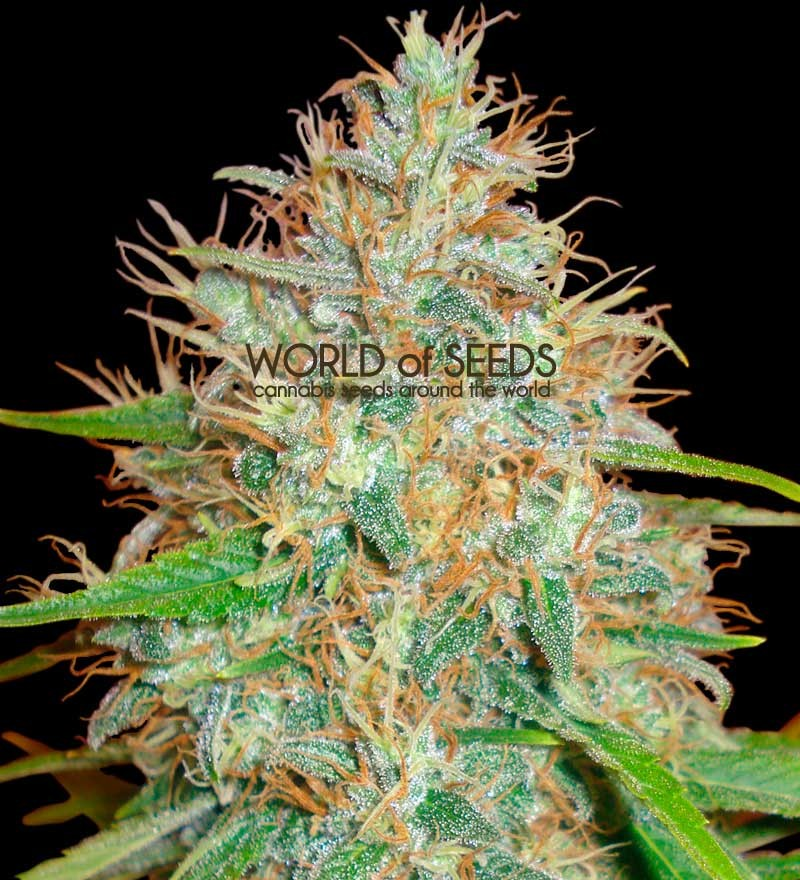 Afghan kush x skunk seeds delicious seeds for Afghan kush exterieur