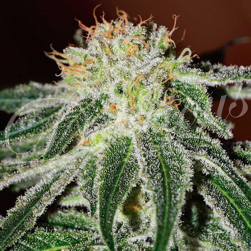 Black Russian | Feminized Cannabis Seeds | Delicious Seeds