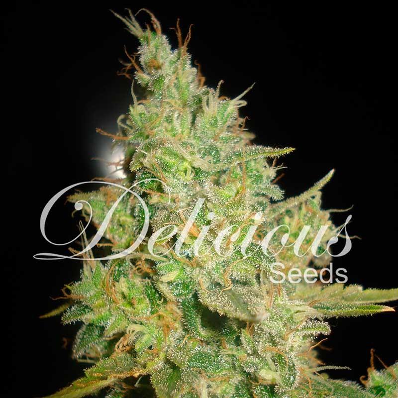 critical kali mist feminized cannabis seeds delicious seeds