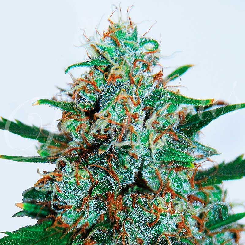 Critical Neville Haze Auto Autoflowering Cannabis Seeds