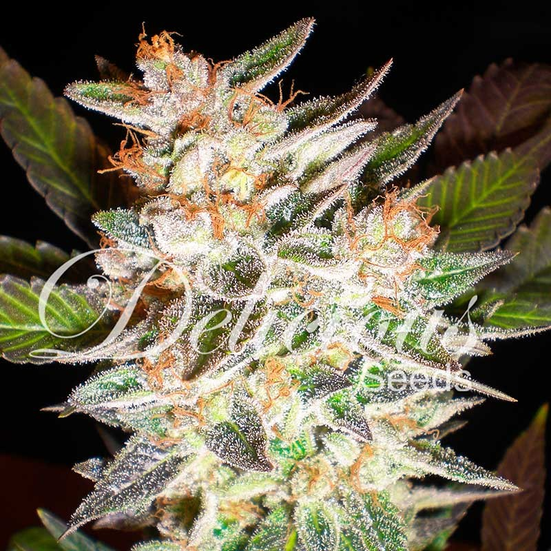 Delicious Candy Auto Autoflowering Delicious Seeds