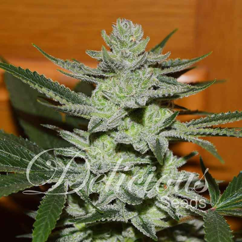 Unknown Kush | Feminized Cannabis Seeds | Delicious Seeds