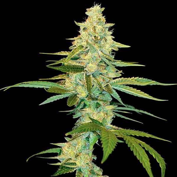 Cannalope Kush Seeds Delicious Seeds Cannalope haze marijuana strain is 95% sativa dominant hybrid, bred by dna genetics. cannalope kush seeds delicious seeds