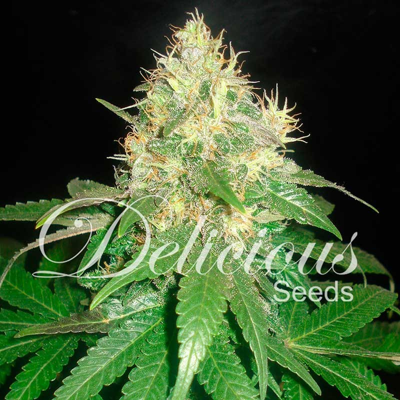 Northern Light Blue Feminized Cans Seeds Delicious