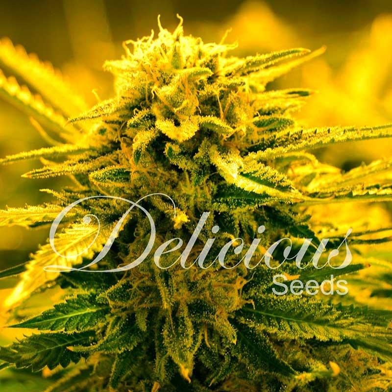 Sugar Black Rose Auto | Autoflowering Cannabis Seeds | Delicious Seeds