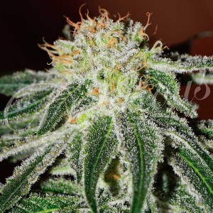 Black russian - Feminized - Seeds