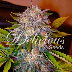 Caramelo - Feminized - Seeds