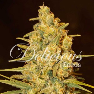 Critical Sensi Star - Feminized - Seeds