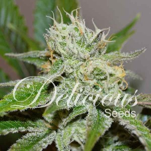 Original Juan Herer - Feminized - Seeds