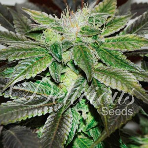 Sugar Candy - Feminized - Seeds