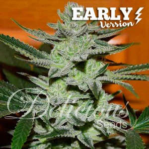 UNKNOWN KUSH EARLY VERSION - EARLY VERSION - Seeds
