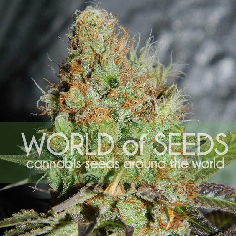 Afghan Kush Special - World of Seeds