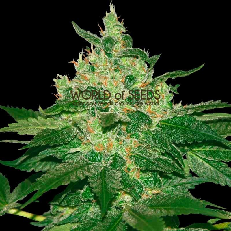 Afghan Kush Regular - 10 semillas - World of Seeds