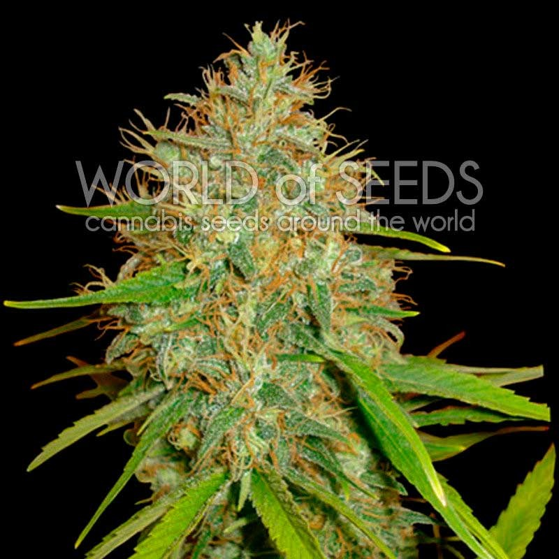 Afghan Kush x Skunk - World of Seeds