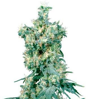 AMERICAN DREAM REGULAR - Sensi Seeds