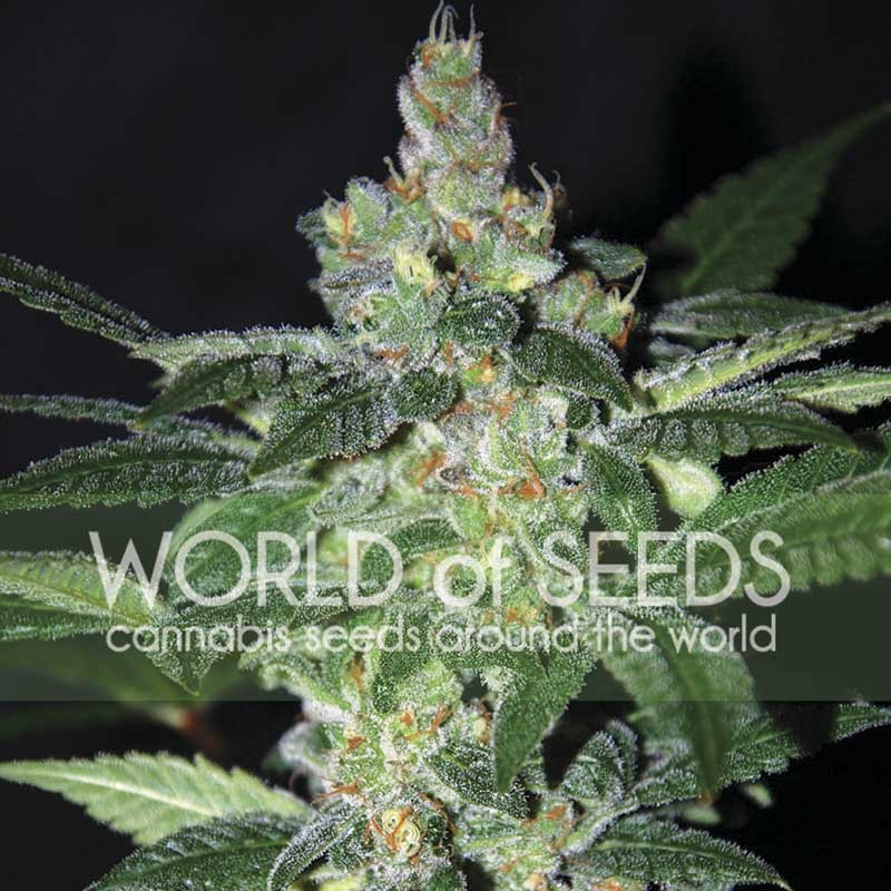 Amnesia - World of Seeds