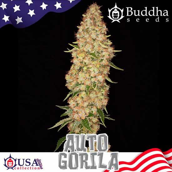 AUTO GORILA - Buddha Seeds