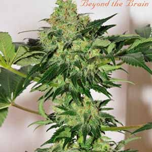 BEYOND THE BRAIN REGULAR - 10 SEEDS - Mandala Seeds