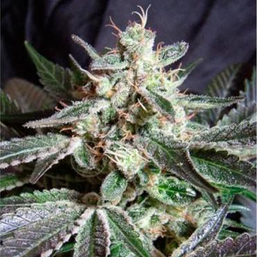 Black Buddha  - 5 seeds - Sagarmatha