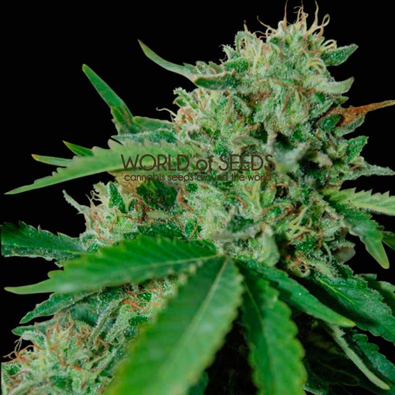 Brazil Amazonia Regular - 10 Semillas - World of Seeds