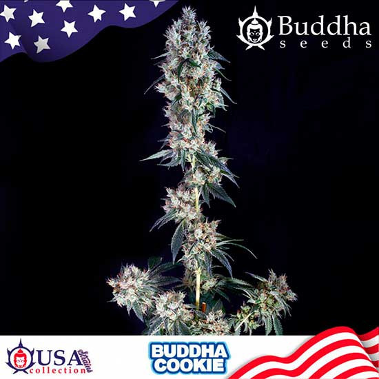 BUDDHA COOKIE - Buddha Seeds