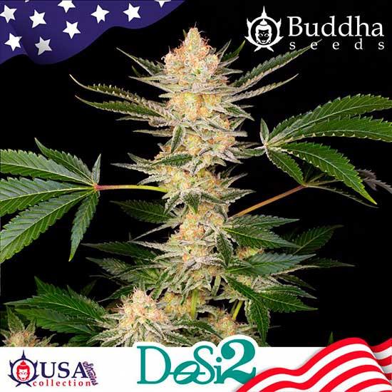 BUDDHA DOSI2 - Buddha Seeds