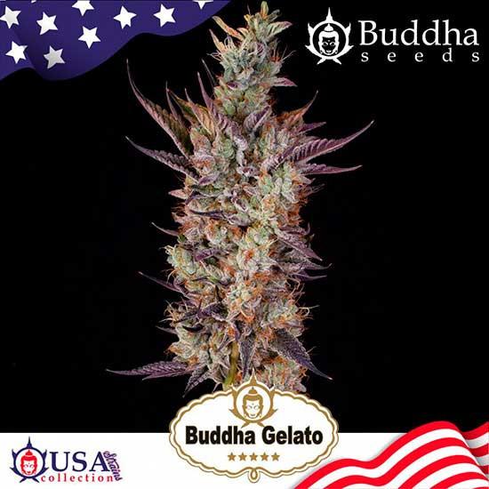 BUDDHA GELATO - Buddha Seeds
