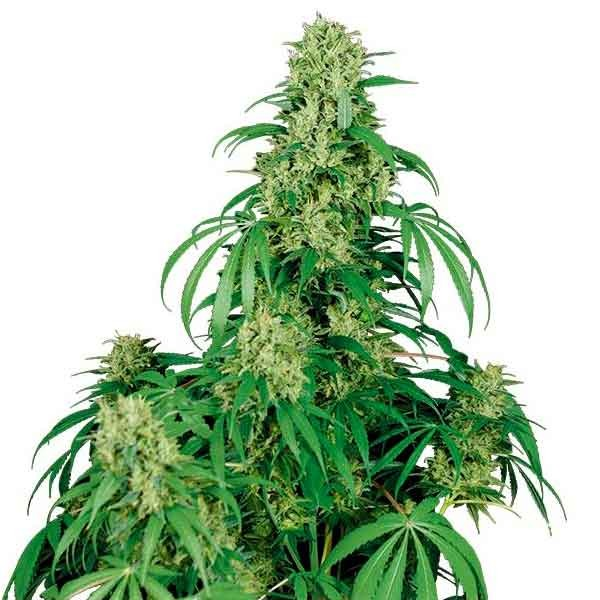 CALAMITY JANE - Buddha Seeds