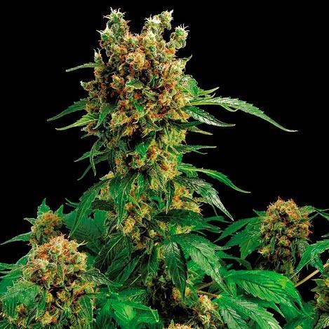 CALIFORNIA HASH PLANT - Dinafem