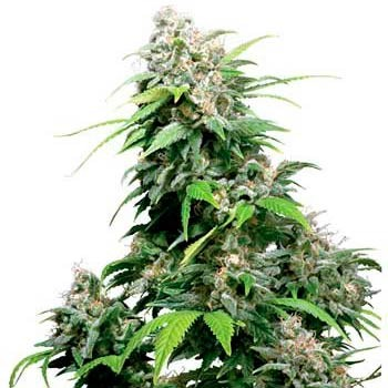 CALIFORNIA INDICA REGULAR - Sensi Seeds