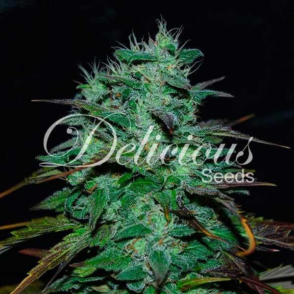 Chocobang - Feminized - Seeds
