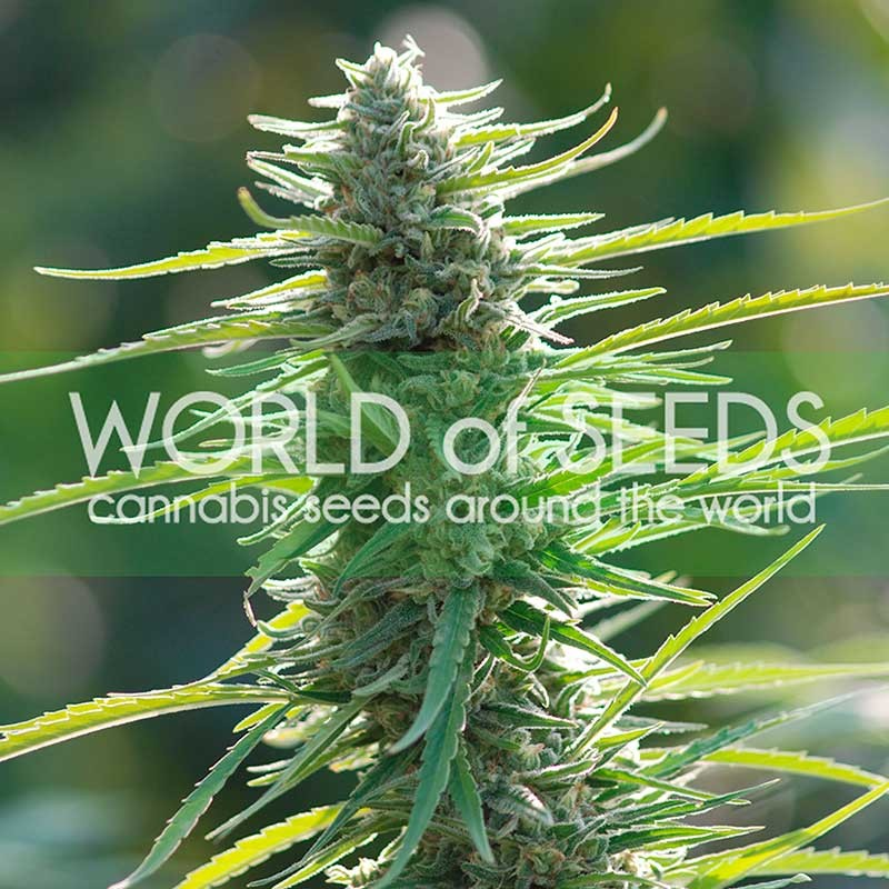 Colombian Gold - World of Seeds