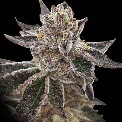 Cookie OX - 12 seeds - Rare Dankness