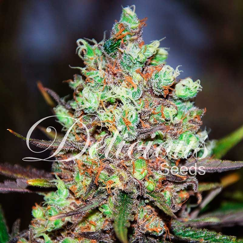 Cotton Candy Kush - Feminized - Seeds