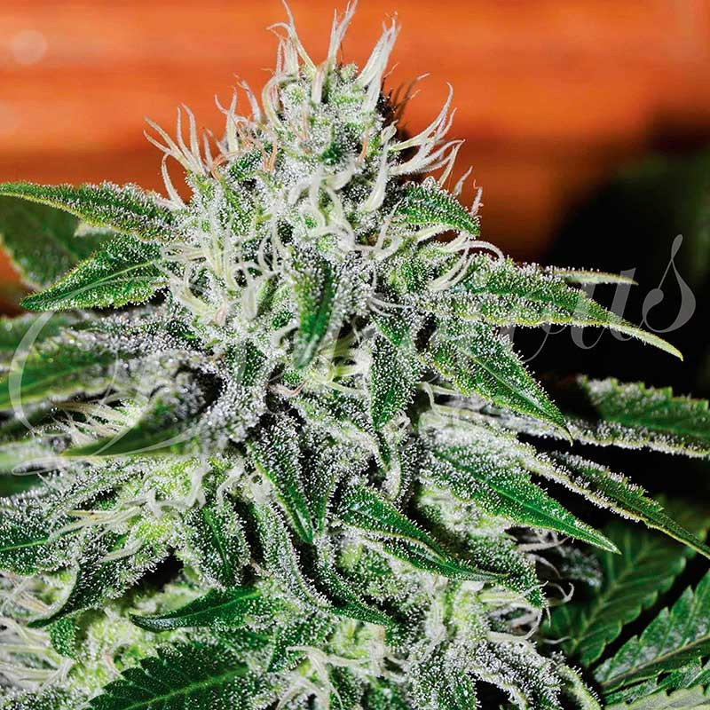 Critical jack herer - Feminized - Seeds