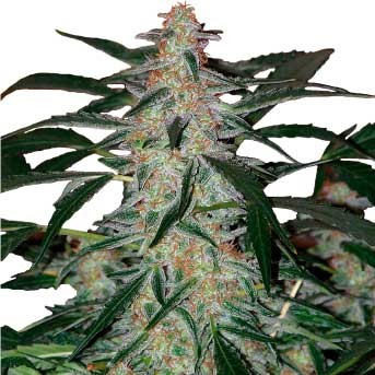 Deimos Regular - Buddha Seeds