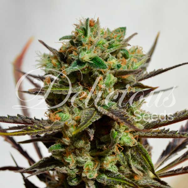 DELICIOUS CANDY - Feminized - Seeds